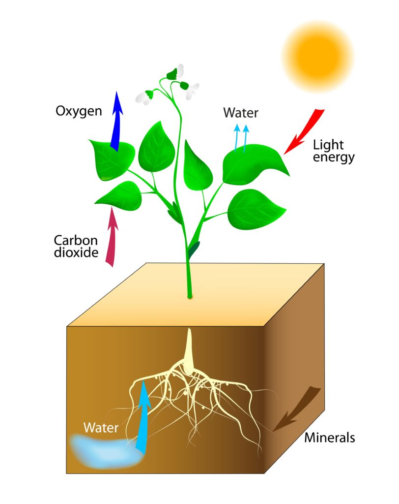 Illustration of a plant with roots