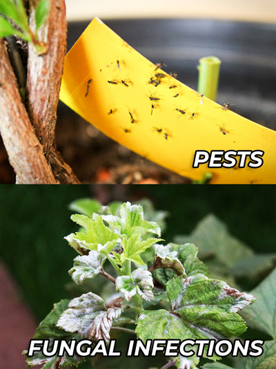 Pests and fungal infections are two of the biggest issues your indoor grow room faces.