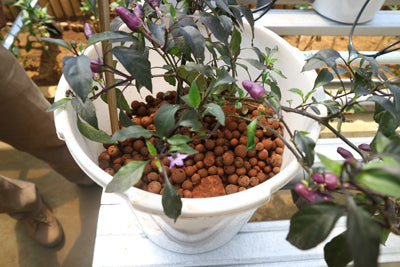 Plants growing in a hydroponic system with clay pebbles.