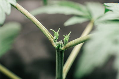 How to top and/or FIM your plants.