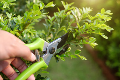 Pruning excessive growth during the flowering stage of growth.