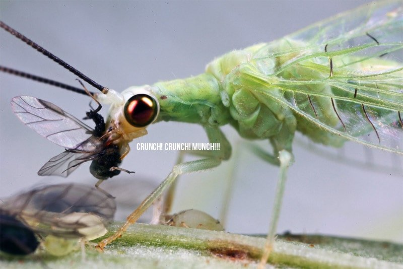 Close up of an Aphid eating a leaf