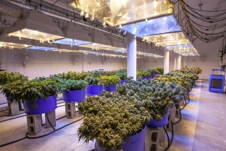 Large grow room with many plants