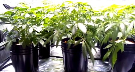 This is an ebb and flow hydroponics bucket system being utilized in a grow tent to grow cannabis.