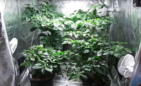 This is a picture of a grow tent with multiple oscillating fans for ventilation.