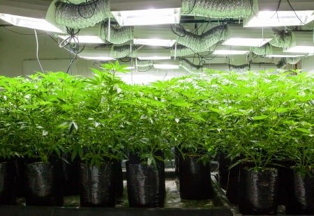 Several tall plants in a grow room
