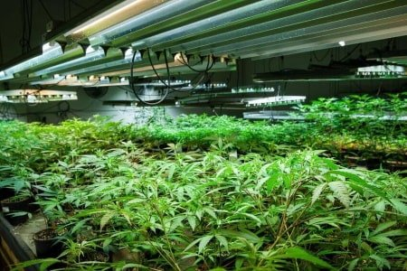 This is a picture of a large grow room utilizing multiple T5 light fixtures.
