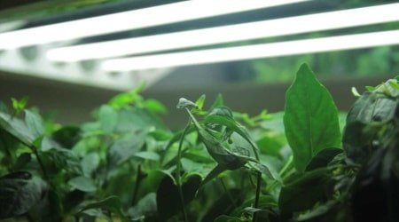 This is a picture of a T5 grow light being used in a grow room for leafy greens. Photo: YouTube (Greens Hydroponics)