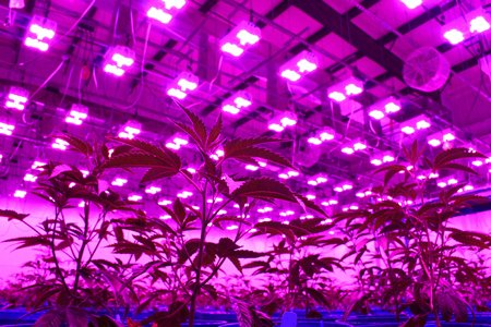 Large warehouse with many LED grow lights and plants