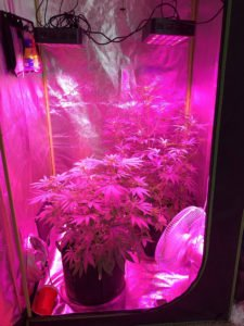 These are LED Grow Lights inside of a Grow Tent growing cannabis.