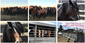 Horse Rescue Help | Orphaned Foals From the Wild Mustang Slaughter!