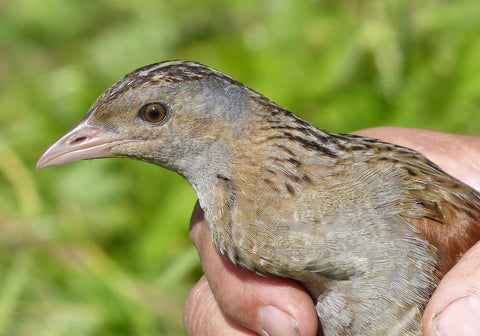 A corncrake held in the hand