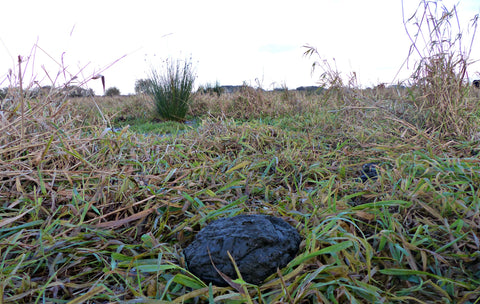 Cow dung in trampled vegetation