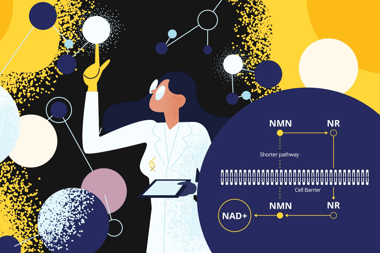Image of scientist showing the NMN and NR pathway converting to NAD+