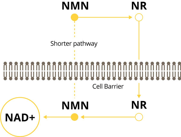 NMN Pathway to NAD+