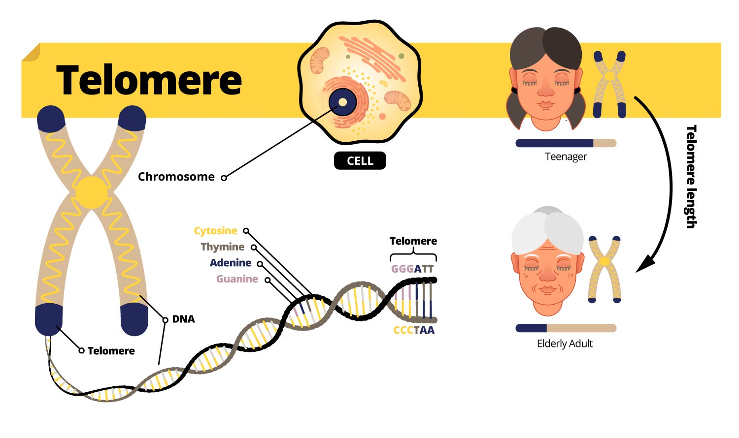 telomere infograph about, how they get smaller as we age and breaks down DNA.