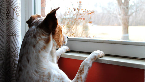 PREVENTIVE MEASURES TO AVOID SEPERATION ANXIETY IN PETS POST COVID-19 LOCKDOWN: