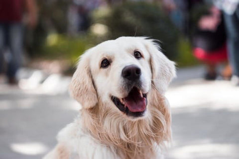 Overcome Mobility issues in Senior Dogs