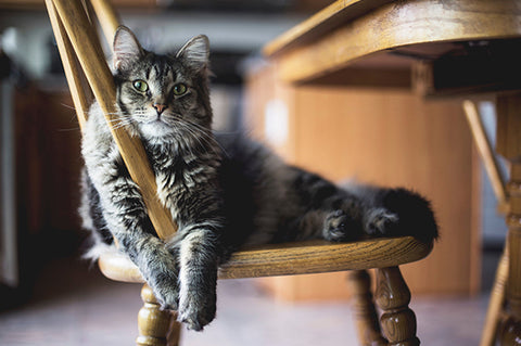 What are the common symptoms of weakness in feline buddies?