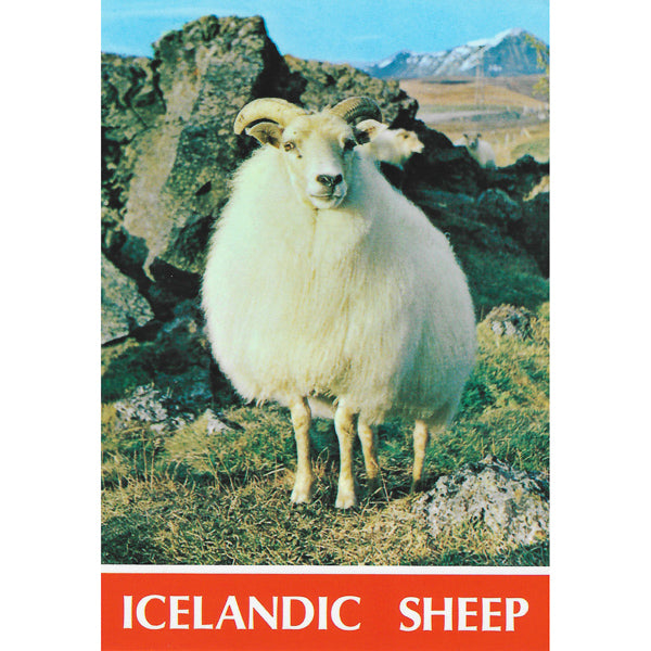 Postcard, Icelandic sheep