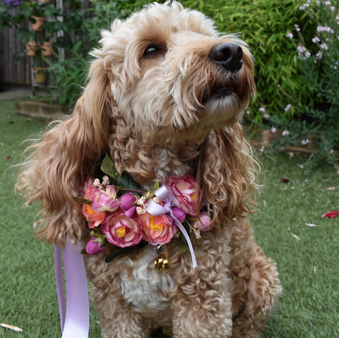 modelling roses dog collar with ring bearer clip