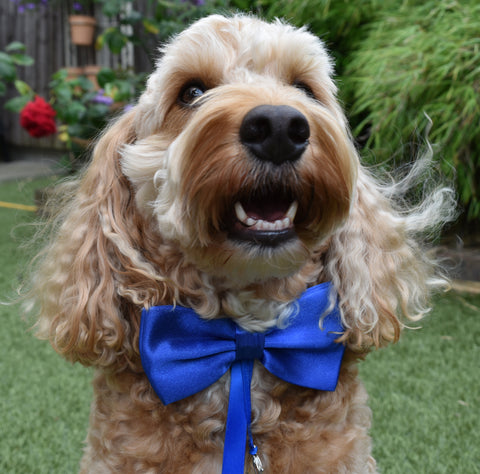 crazy dog wearing blue bow tie with ring bearer clasp