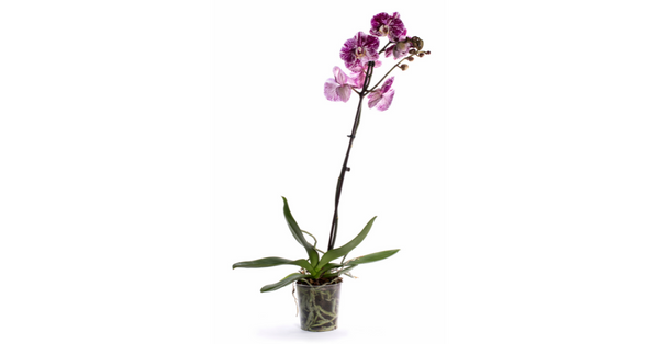 orchids safe for dogs?