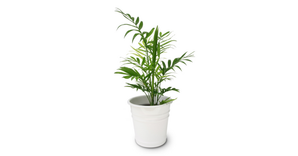 bamboo palm safe for dogs