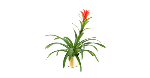 bromeliad safe for dogs