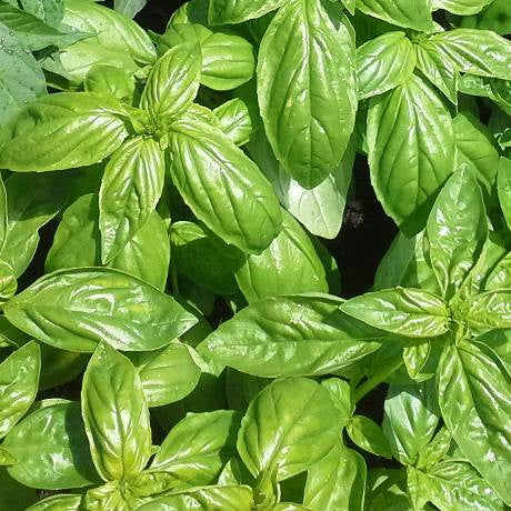 Basil - Sweet Genovese - LovePlantLife Seeds NZ