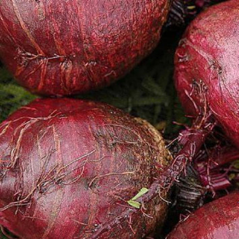 Bulls blood beetroot LovePlantLife Seeds