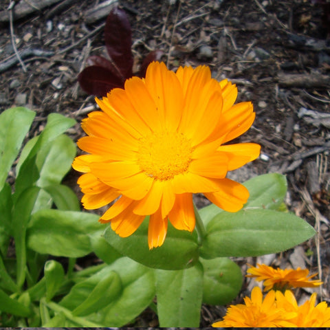 Calendula flower seeds NZ packet $3.50 NZ Delicious seeds for New Zealand Gardens - LovePlantLife Seeds