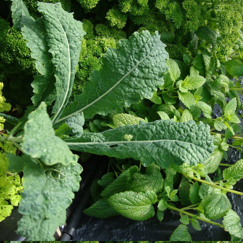Cavolo nero kale packet $3.50 NZ Delicious seeds for New Zealand Gardens - LovePlantLife Seeds
