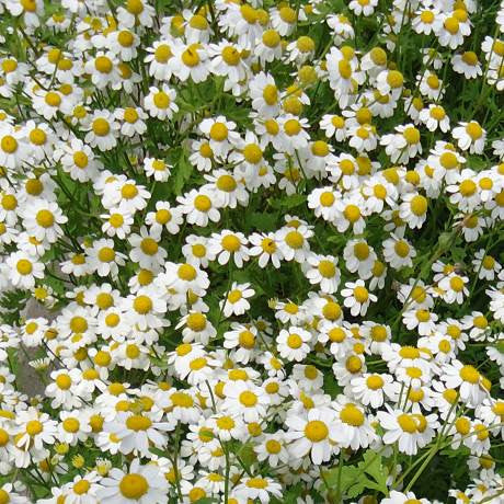 Medicinal german chamomile packet $3.50 NZ Delicious seeds for New Zealand Gardens - LovePlantLife Seeds