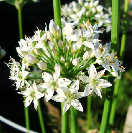 Beautiful garlic chives flowers - LovePlantLife Seeds