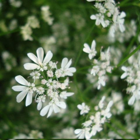 Coriander in flower packet $3.50 NZ Delicious seeds for New Zealand Gardens - LovePlantLife Seeds
