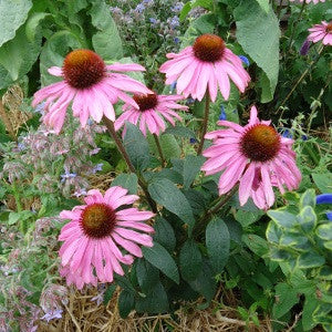 Echinacea flower & medicinal herb - LovePlantLife Seeds NZ