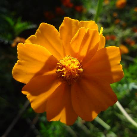 Marigold single gold flower - LovePlantLife Seeds NZ