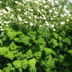 Parsley - Darki