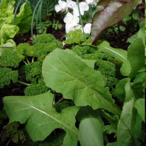 Rocket leaves packet $3.50 NZ Delicious seeds for New Zealand Gardens - LovePlantLife Seeds