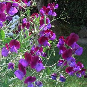 Sweetpea Matucana - Delicious seeds for New Zealand Gardens - LovePlantLife Seeds