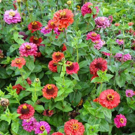 Zinnia heritage flowers Chromosia - LovePlantLife Seeds NZ