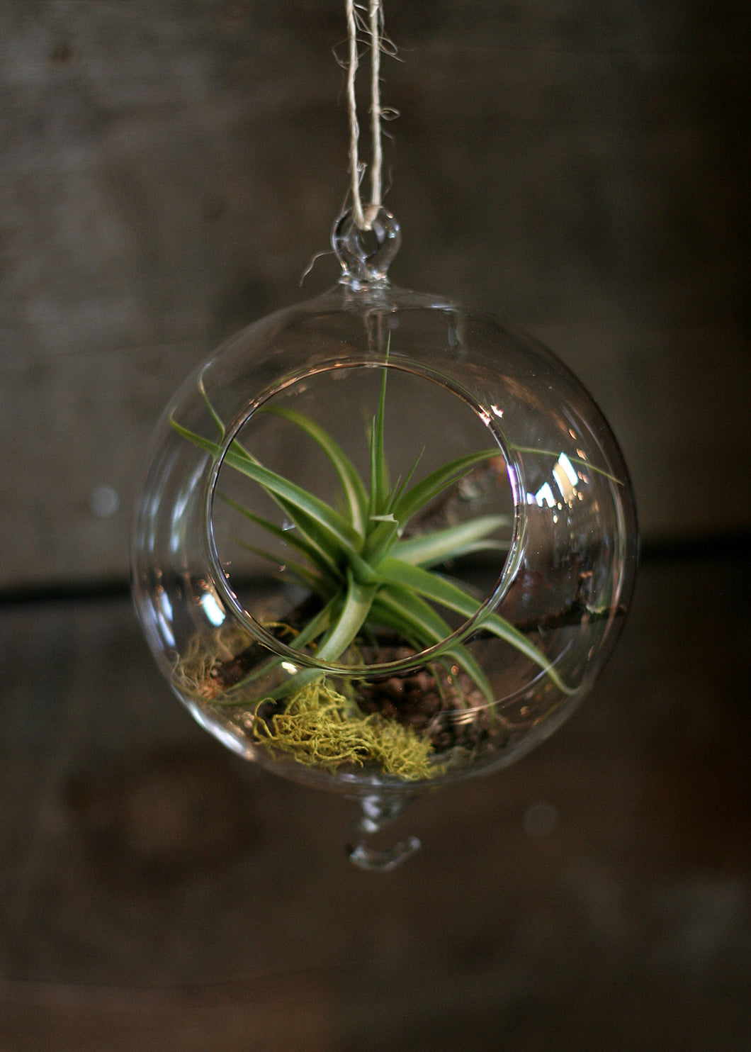 glass hanging globe tillandsia (airplant) tillarium kit