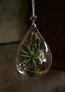 "glass 7"" teardrop tillandsia (airplant) tillarium kit"