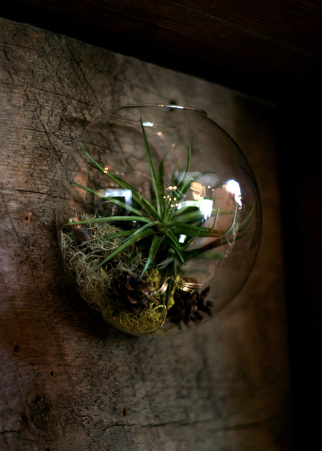 glass wall bubble tillandsia (airplant) tillarium kit