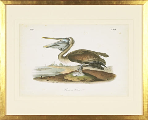 Brown Pelican Bird Framed