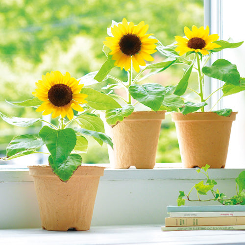 Mini Sunflower Ecot | Seishin Tougei | Flower Growing Kit