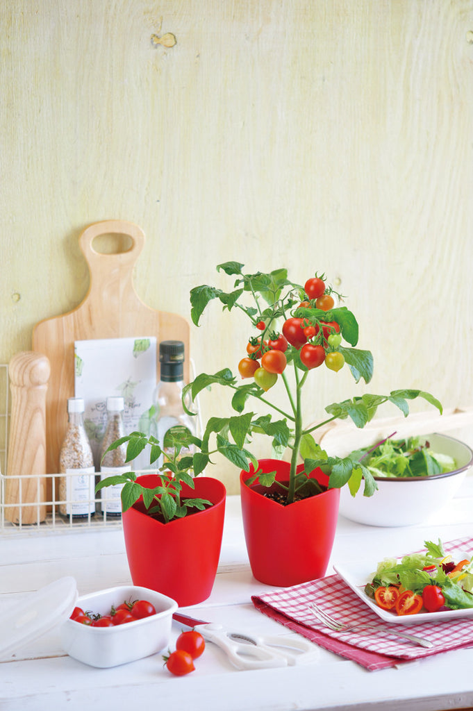 Heartomato | Seishin Tougei | Tomato Growing Kit