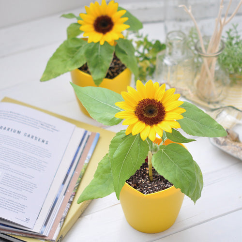 Bloom small Himawari - Sunflower