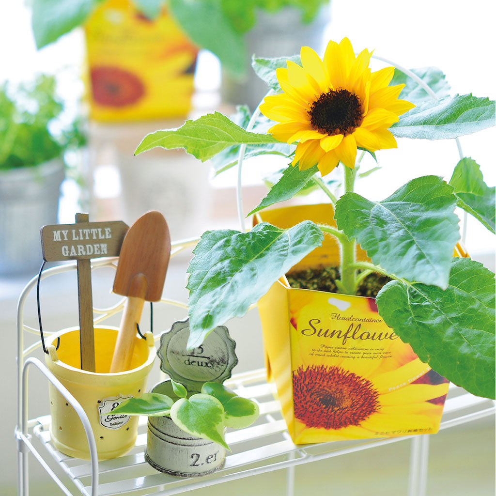Smile Sunflower Container | Seishin Tougei | Flower Growing kit